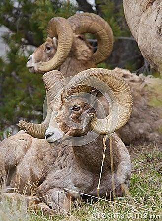 Free Bighorn Sheeps Stock Photo - 24733330