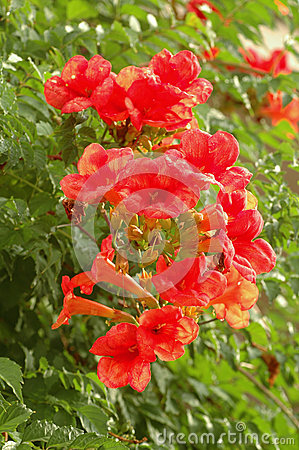 Free Bignonia Capreolata Royalty Free Stock Photos - 53356828