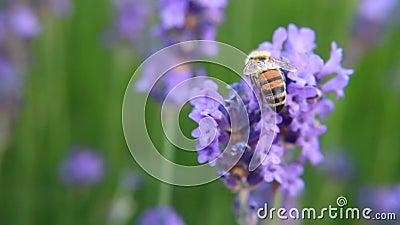 Bij op de Bloem van de Lavendel