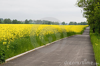 Bike road near yellow rape field