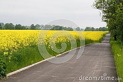Bike road near yellow rape field