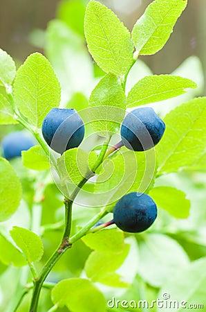 Bilberry berries