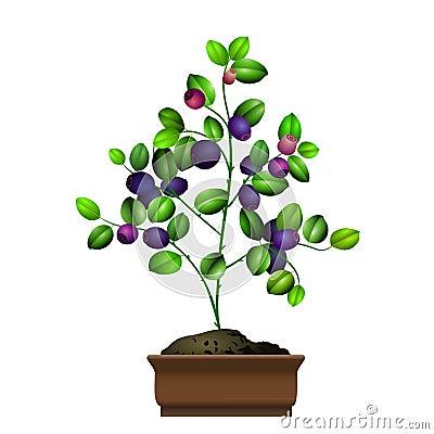 Bilberry bush in flowerpot