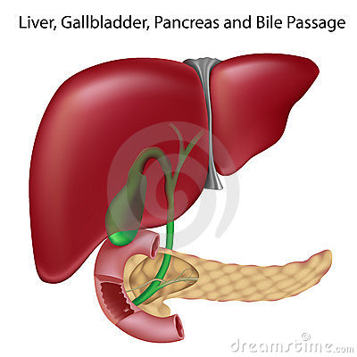 Free Bile Passges, Textbook Accuracy, Non-labeled V. Stock Image - 18548921
