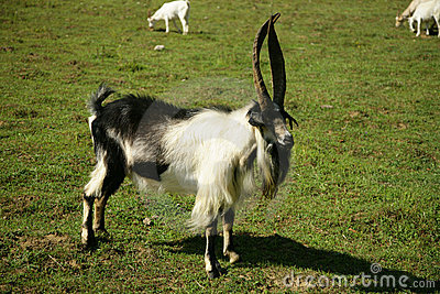 Bill goat on the pasture