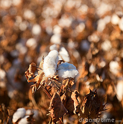 Bille de coton
