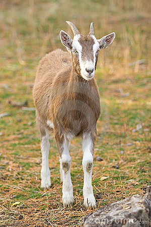 Free Billy Goat Stock Photo - 10855520