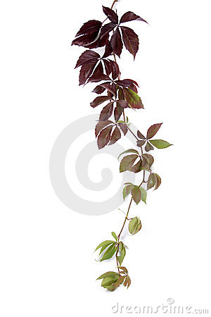 Free Bindweed Stock Images - 6881624