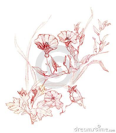 Bindweed (Convolvulus)