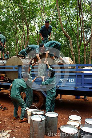 Worker working in teamwork at rubber plantation  Editorial Photography