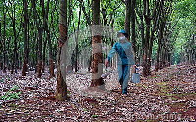 Worker collecting  latex rubber  at rubber plantat Editorial Stock Image