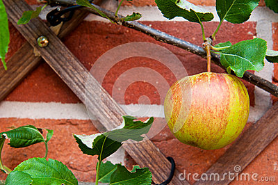 Biological apple
