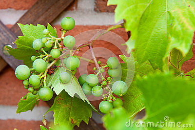 Biological grapes