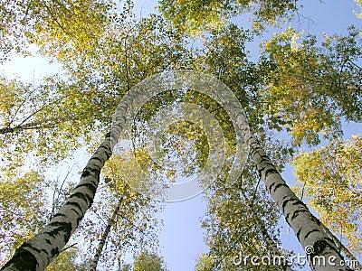The birch 6