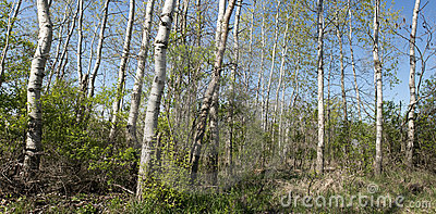 Birch or Aspen Trees Panoramic, Panorama, Banner