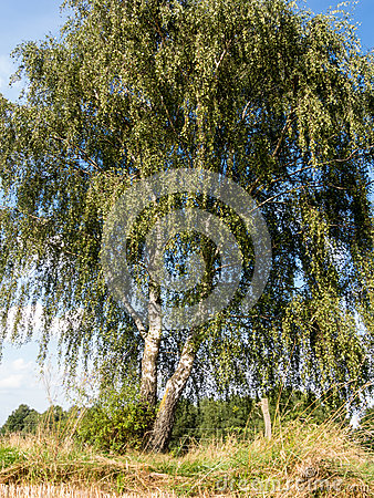 Free Birch At A Stubble Field Royalty Free Stock Photography - 44956277