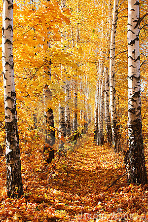 Free Birch Autumnal Alley Royalty Free Stock Image - 6711066