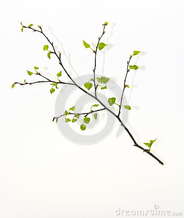 Free Birch Branch. Royalty Free Stock Image - 40396246