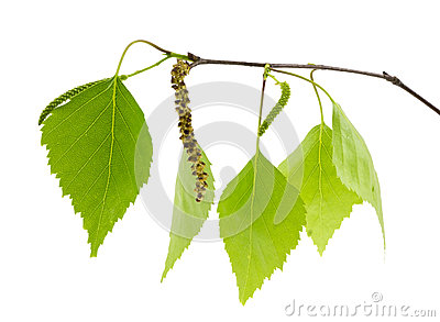 Birch branch with fresh green leaves.