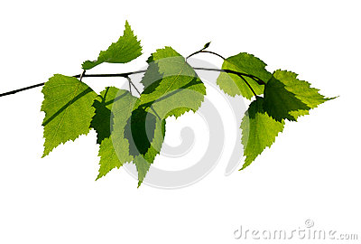 Birch branch on white background