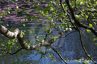 Birch branches over lake