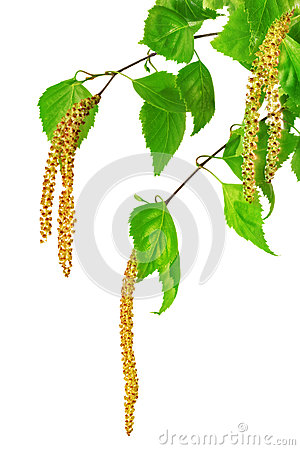 Free Birch Catkins Isolated On White Background. Royalty Free Stock Image - 30395386