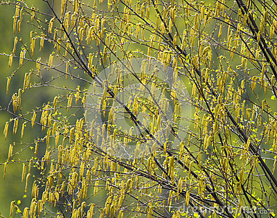 Birch catkins in spring