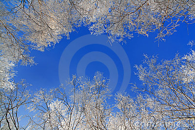 Birch covered with rime