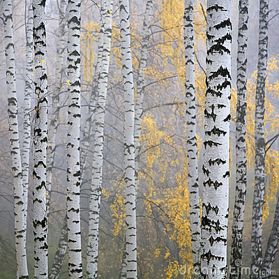 Free Birch Forest Stock Image - 6351341