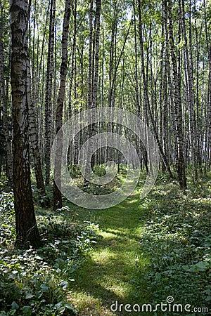 Birch Forest, August