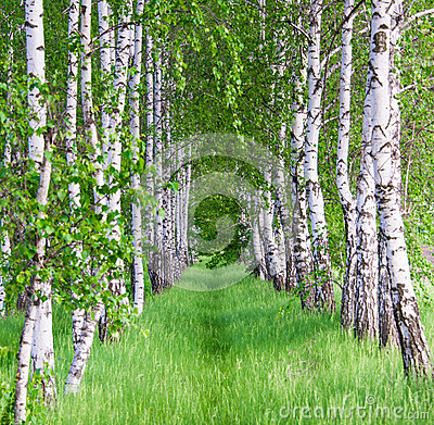 Birch forest. Birch Grove