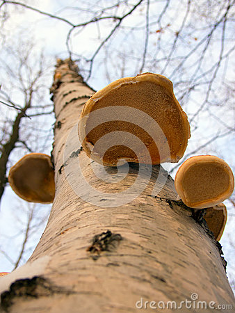 Free Birch Fungus From Below Royalty Free Stock Photo - 28984595