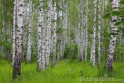 Birch green wood