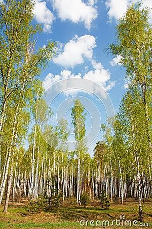 Free Birch Grove Stock Photo - 19389800
