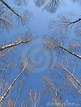 Birch grove on blue sky, leader concept,