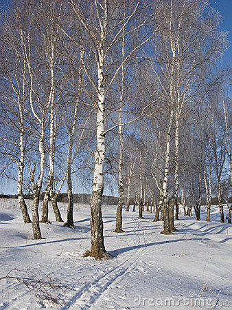 Birch grove with hoarfrost
