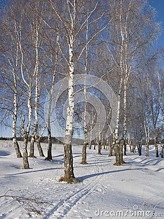 Birch grove with hoarfrost