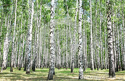 Birch grove in july