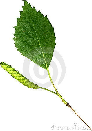 Free Birch Leaf Stock Photo - 2643800