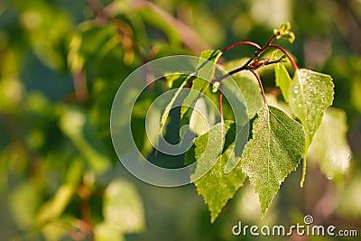 Birch leafs in sunlight