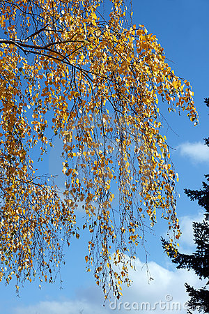 Birch leaves
