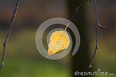 Birch leaves against a dark background