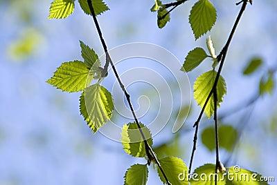 Birch leaves on blue skies