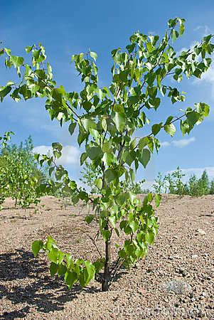 Birch plants on sand soil