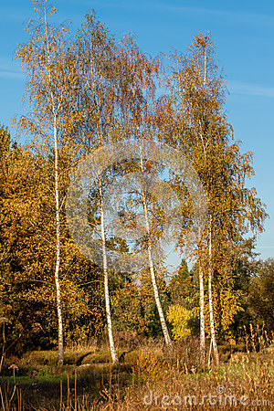 Free Birch Tree Stock Photography - 93236002