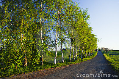 Birch tree avenue
