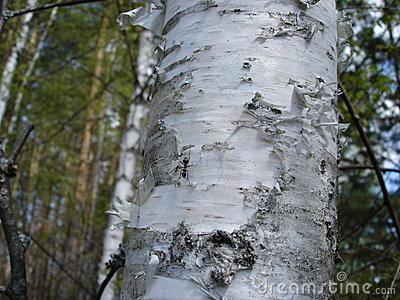 Birch tree and bark