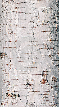 Free Birch Tree Bark Texture Stock Images - 95415144