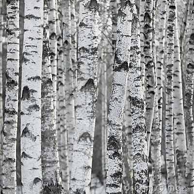 Free Birch Tree Forest Large Background Stock Photos - 14192303