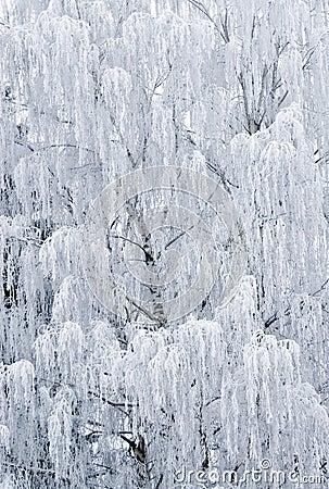 Birch Tree Frozen Royalty Free Stock Image - Image: 12566056